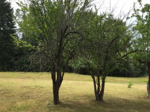 Plum trees2
